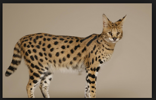 All About Savannah Cats