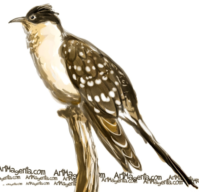Great Spotted Cuckoo sketch painting. Bird art drawing by illustrator Artmagenta
