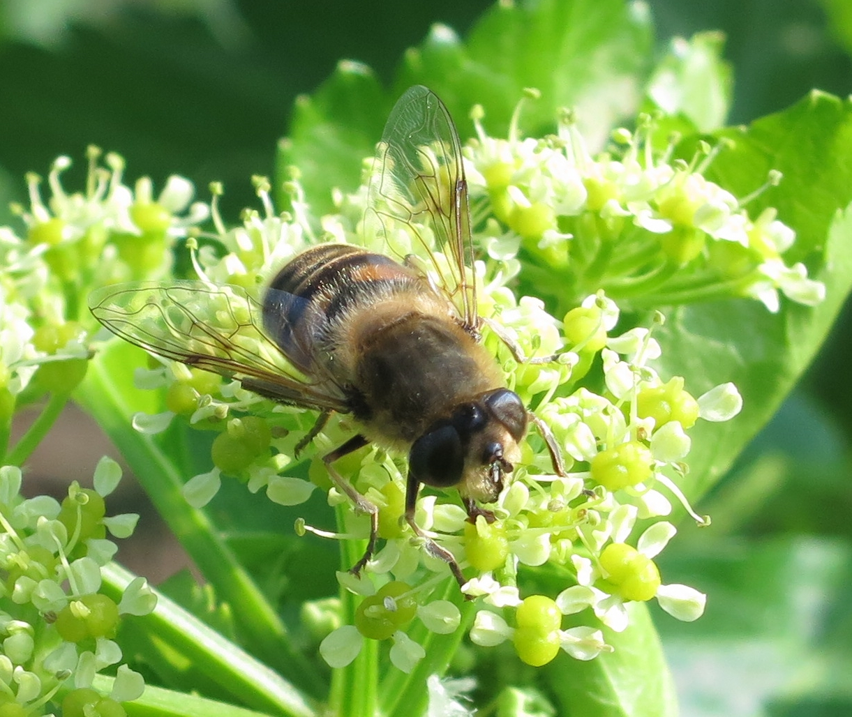 Hoverfly (Eristalis tenax) on Alexanders - face forwards
