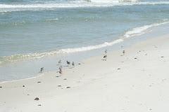 Shorebirds at Dog Island