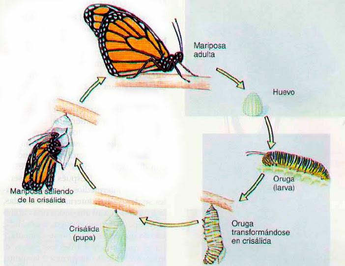 DE LAS MARIPOSAS MONARCAS: La metamorfosis de la mariposa monarca