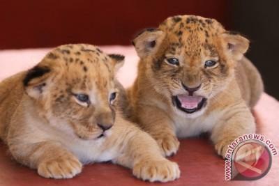 Dua Ekor Singa di Jambi terkena racun