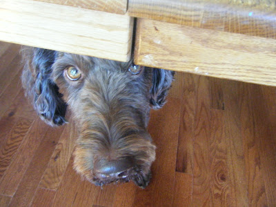 Alfie's face is peeking out from under the table as he gazes up with an intense, focused look