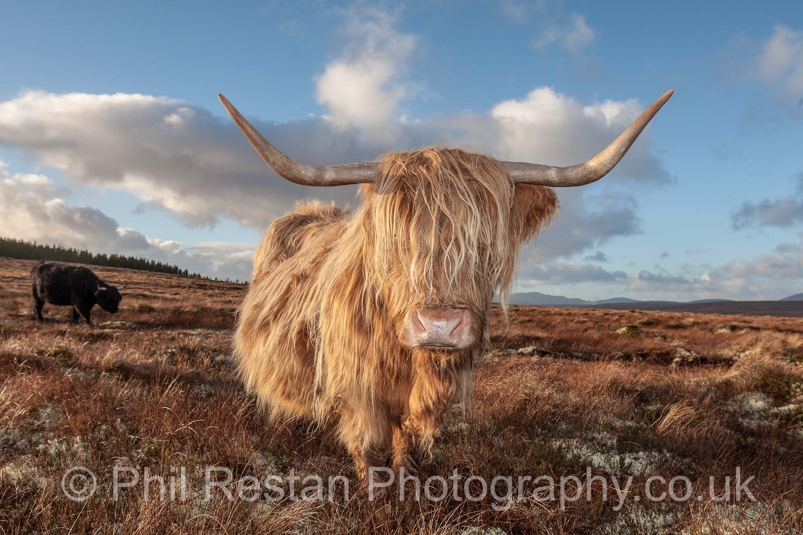 Photo of a Highland cow from Crask in Sutherland, Scottish Highlands
