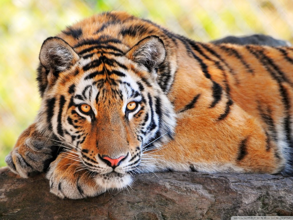 Lovable Images: Wild Tiger Hd WallPapers Free Download
