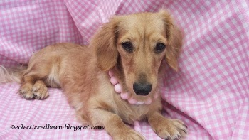 Eclectic Red Barn: Doxies Tiny decked out in pink and pearls
