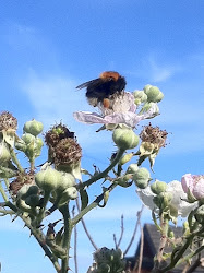 Bumble Bee on Bramble flowers