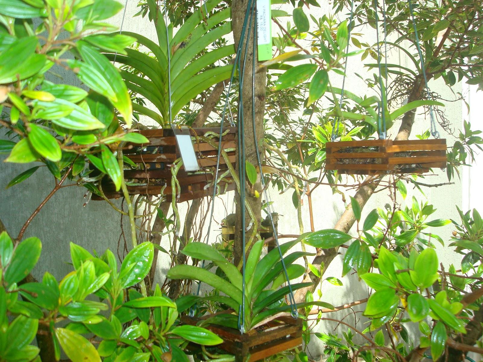 #94B417 Minhas Vandas espalhadas pelo Pé de Manacá da Serra 1600x1200 px caixas de madeira para orquideas @ bernauer.info Móveis Antigos Novos E Usados Online