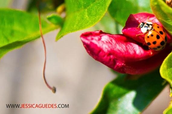 © Jéssica Guedes 2014 - Joaninha laranja na flor (Todos os direitos autorais reservados)