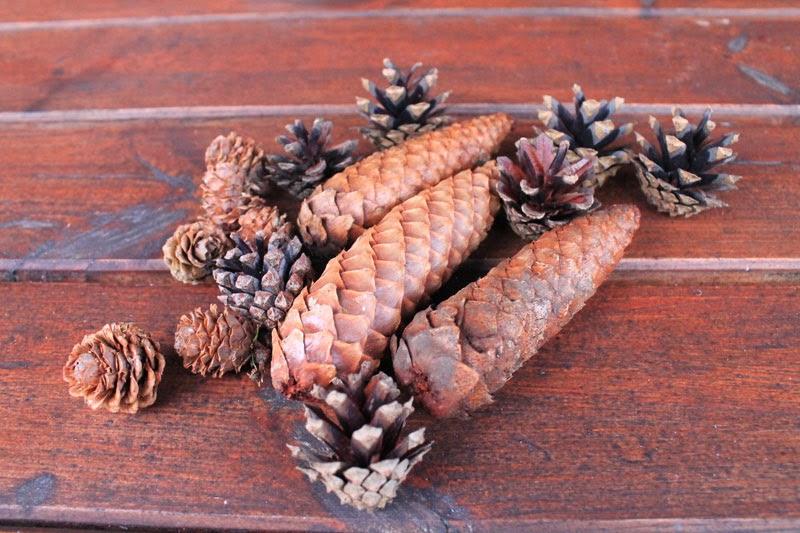 Pigne di larice, abete rosso e pino silvestre