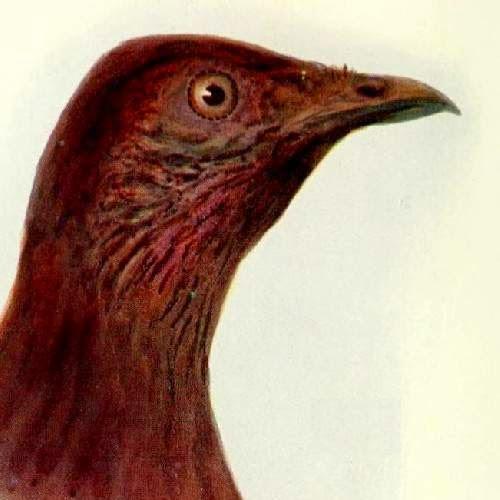 Indian birds - Nicobar scrubfowl - Megapodius nicobariensis