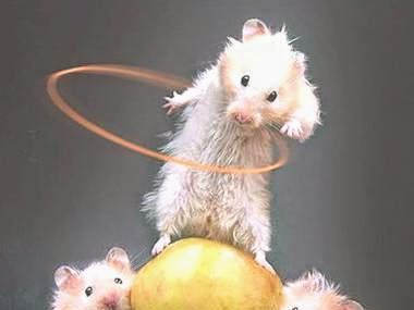 Ratones discapacitados caminan tras recibir células madre humanas