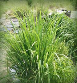 Lemongrass, one of my favorite essential oils.