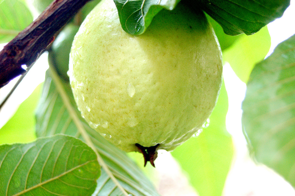 wallpaper guava gift of nature