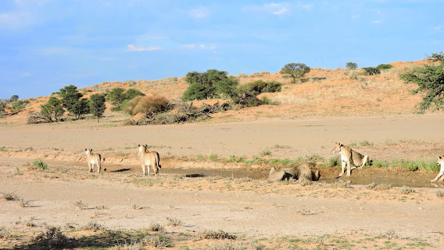 Pride of lions drinking water in the Kgalagadi Transfrontier Park