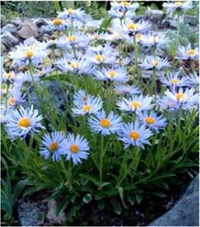 ý nghĩa của hoa thạch thảo,  những hoa thạch thảo,  album hoa thạch thảo,  hoa thạch thảo đẹp,  làm hoa thạch thảo,  xem hoa thạch thảo,  hoa thạch thảo 2009,  tim hieu ve hoa thach thao
