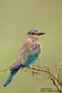 indian roller state bird of karnataka india bangalore indian birds