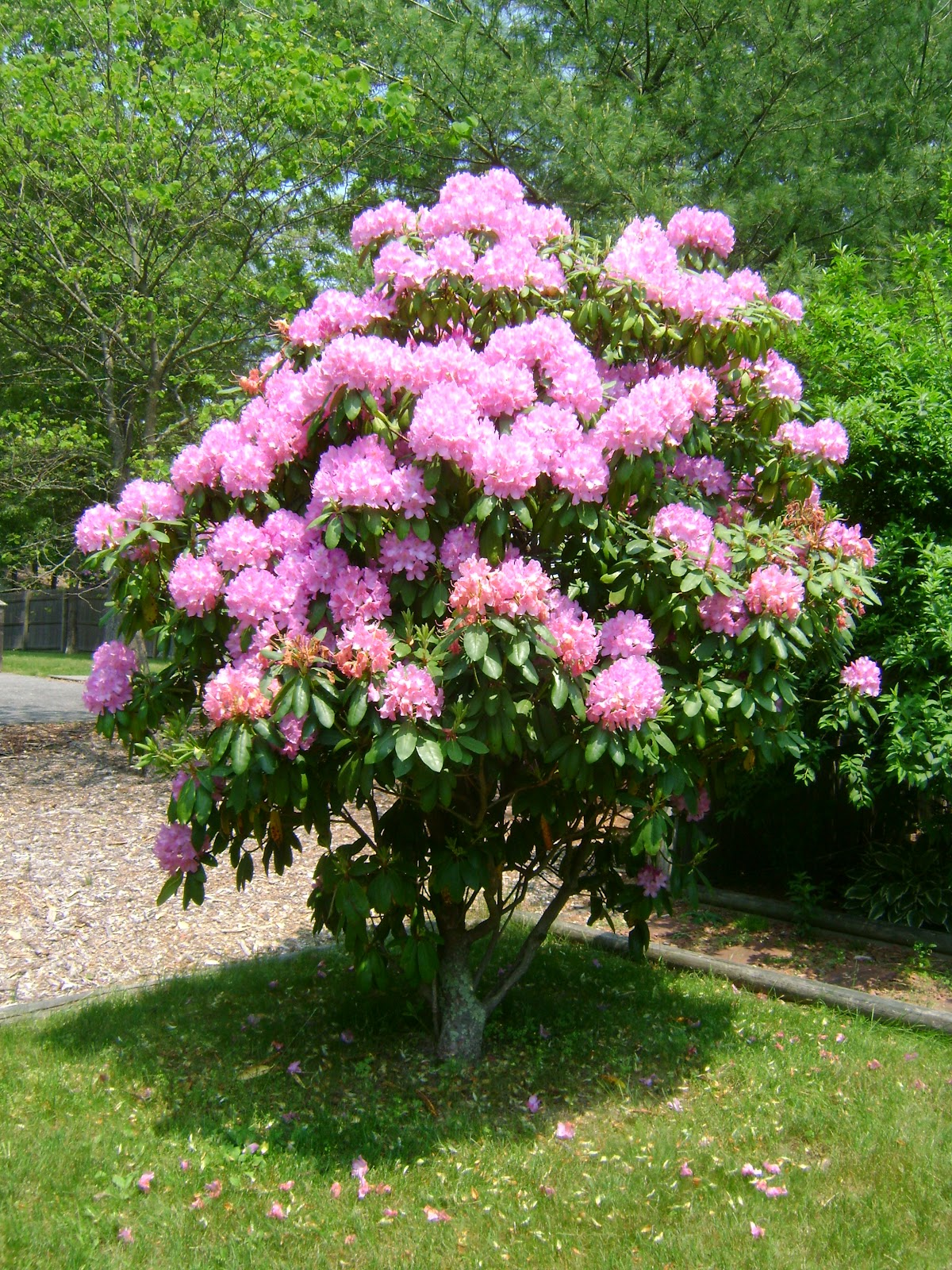 Large bushes with pink flowers images for Large flowering shrubs