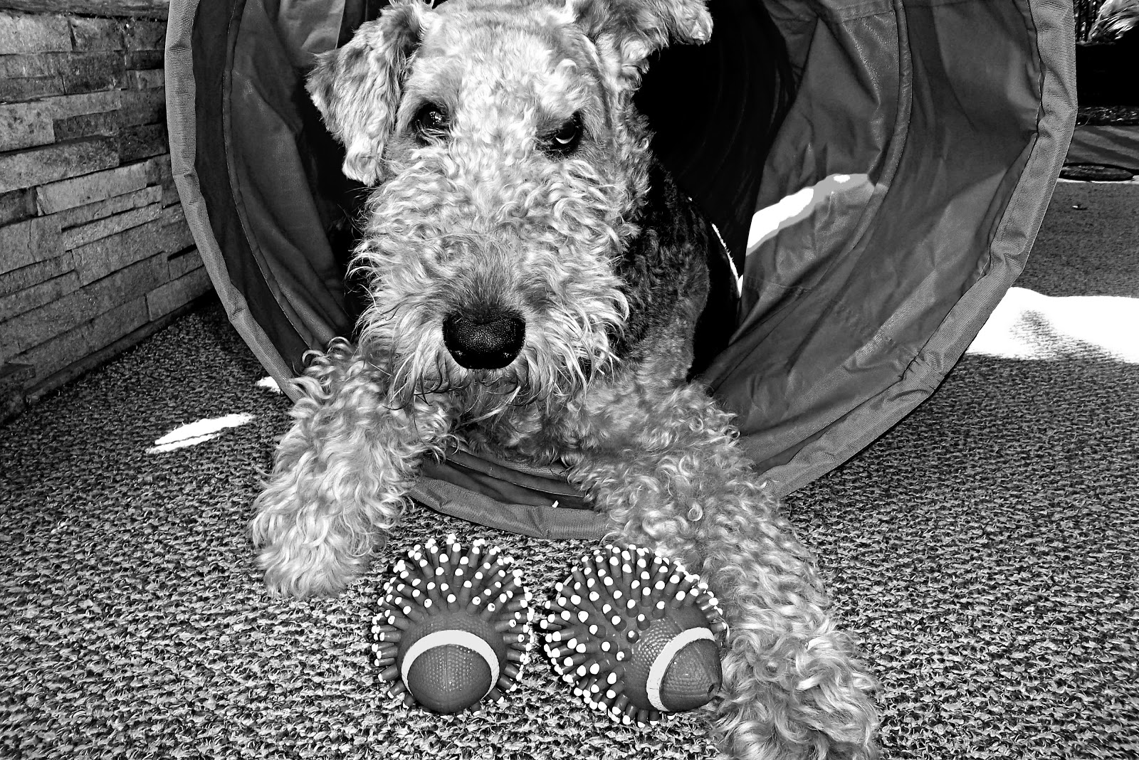 Ruby the Airedale: February 2013