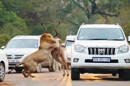 Di Tengah Jalanan Ramai, Singa Terkam Antelop