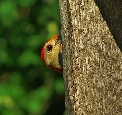 Adult Red Bellied Woodpecker