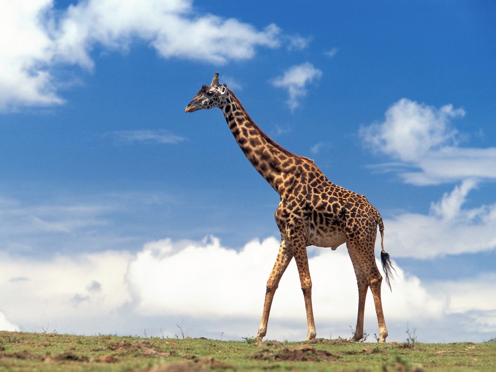 http://2.bp.blogspot.com/-yjwRGJ30jZQ/UCM_LSFK9PI/AAAAAAAAHlA/QIxSScUeESE/s1600/Giraffe+Animal+Behavior+Big+Desktop216.jpg