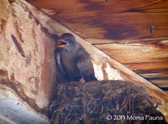 Kingbird babe, June 23rd. They grow up so very fast...