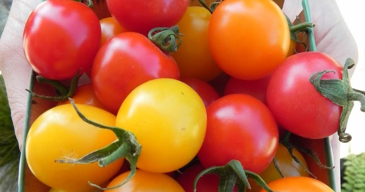 Osborne Seed Company Variety Trials: New Cherry Tomatoes ...