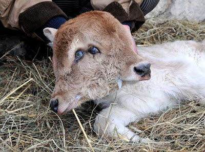 Amazing two headed calf