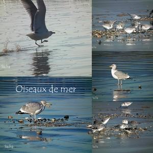 Oiseaux de mer St Nic -Pentrez