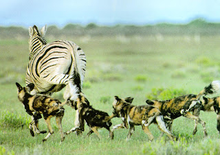 african painted dogs attack on giraffe
