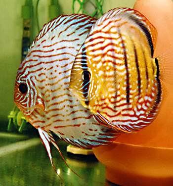 10 Jenis Ikan Hias Air Tawar Tercantik