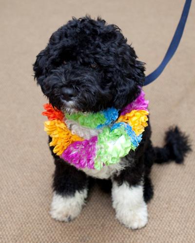 BO Portuguese Water Dog