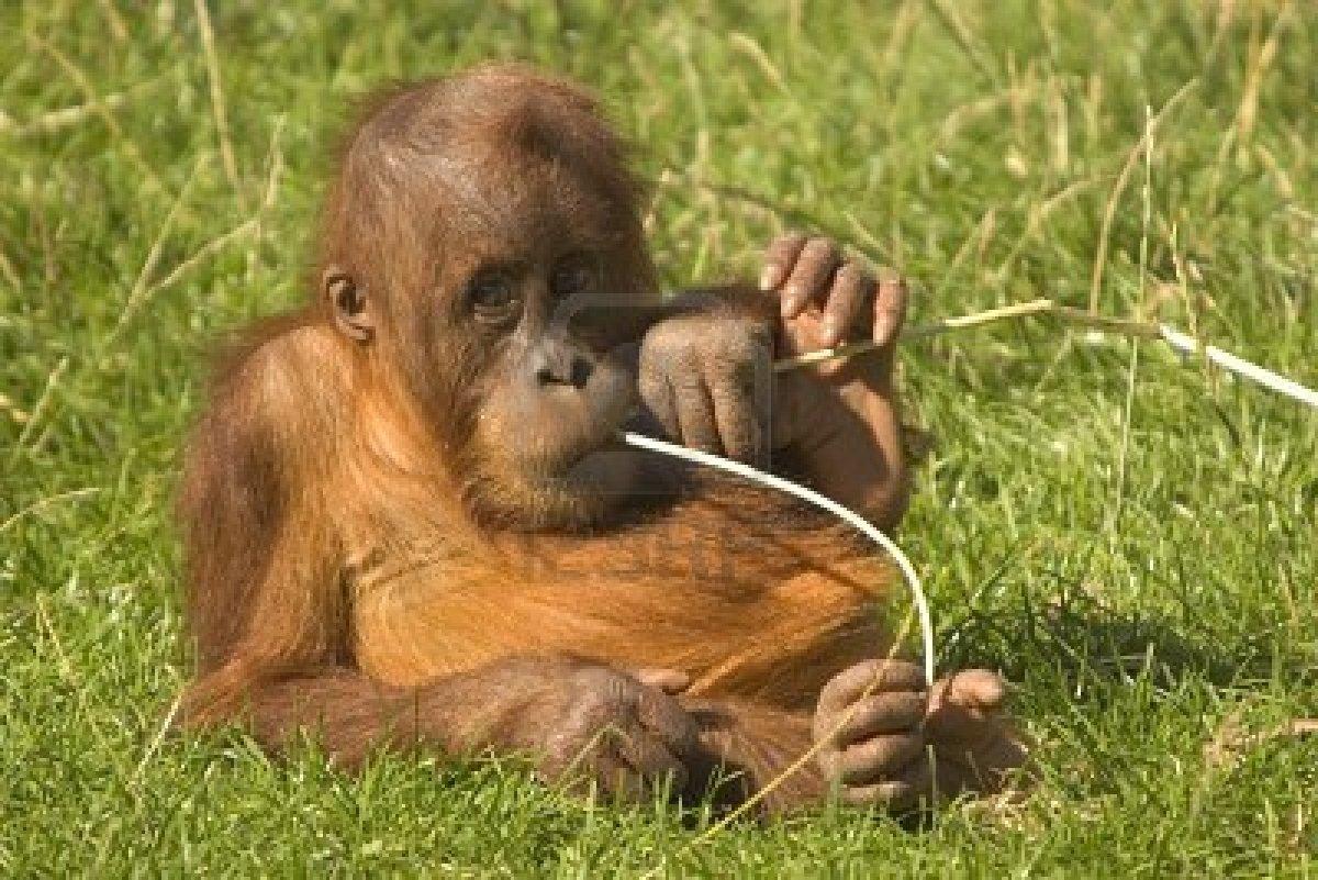 Of babies of beautiful wild animals baby orangutan adventures