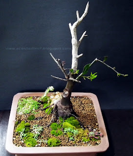 Bay Laurel bonsai (Laurus Nobilis)with jin and uro
