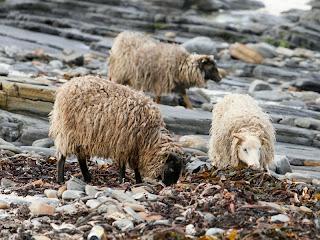 Chewing over the seaweed with some North Ronadlsay sheep