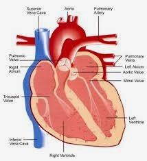 Cara Cepat Menyembuhkan Penyakit Gagal Jantung