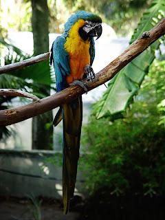 Ara Ararauna Birds Cape Town