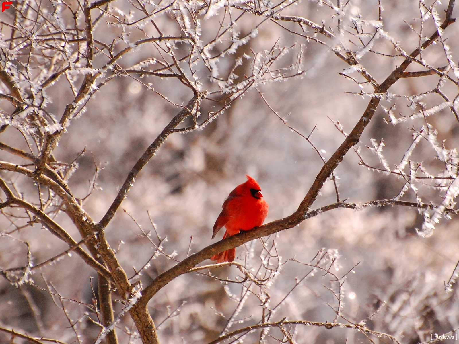 Red cardinal pictures