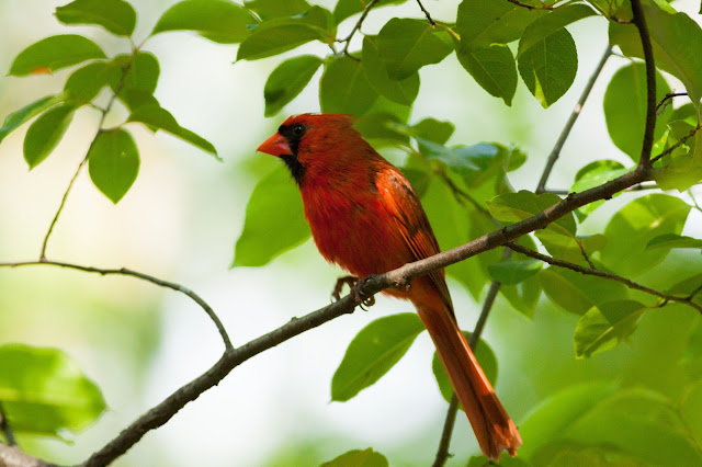 Northern Cardinal - New York