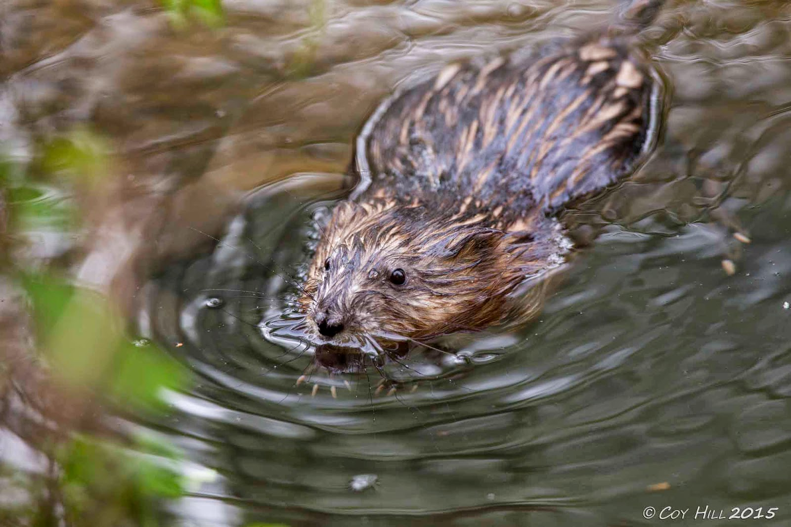 how to catch a muskrat