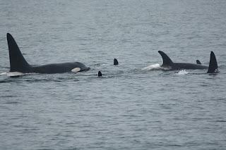 Orca Sightings on both trips!