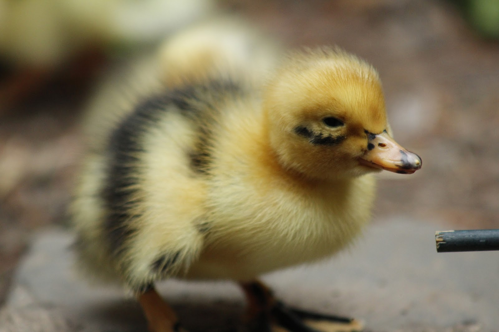Mama Gone Green: We Have Ducklings!