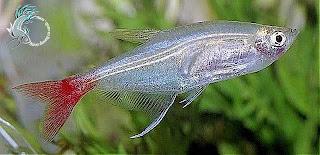 cá thủy tinh đuôi đỏ