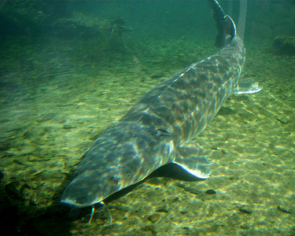 Russian Sturgeon Fish