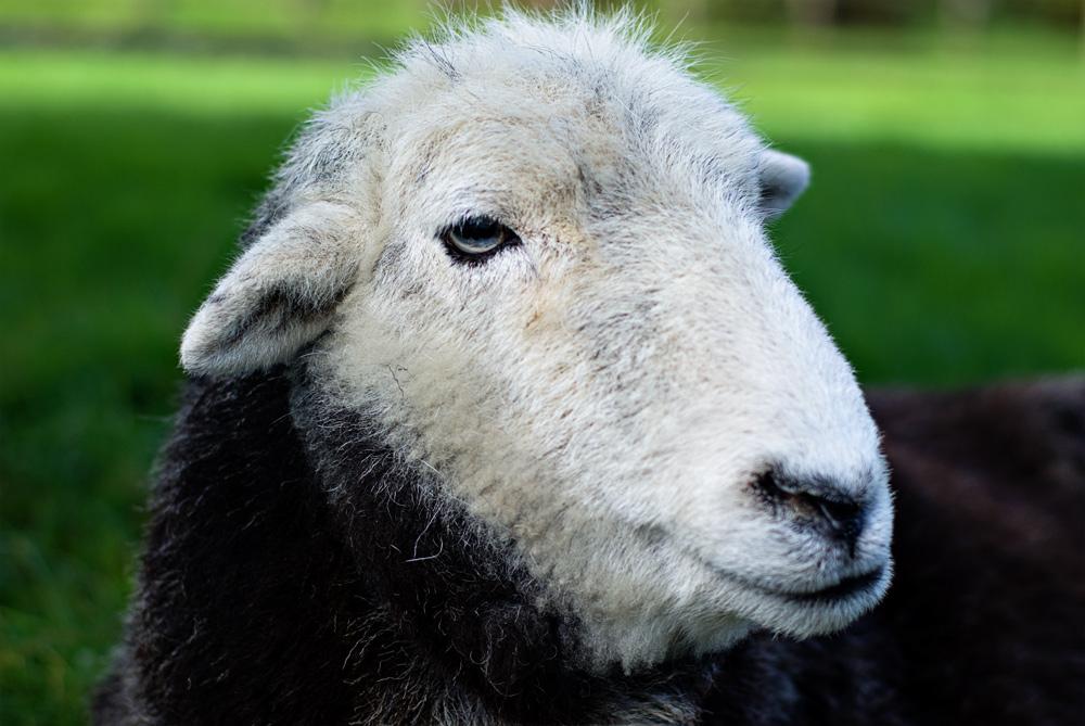 a close up of a sheep