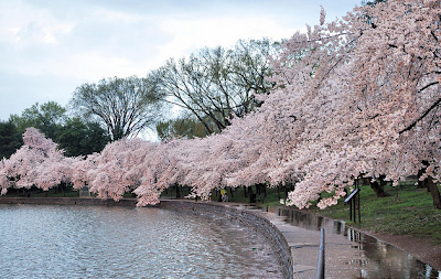 Kuweight 64 100th Anniversary Cherry Blossom Festival