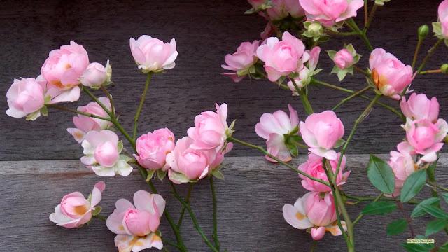 Houten hek met roze rozen