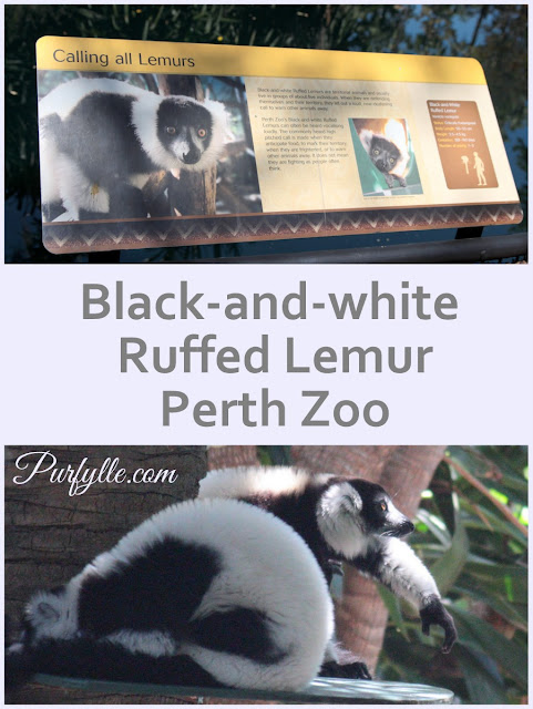 Black-and-white Ruffed Lemur - a critically endangered Madagascan rainforest species at Perth Zoo