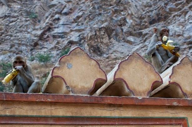 galta singe banane monkey banana temple jaipur inde